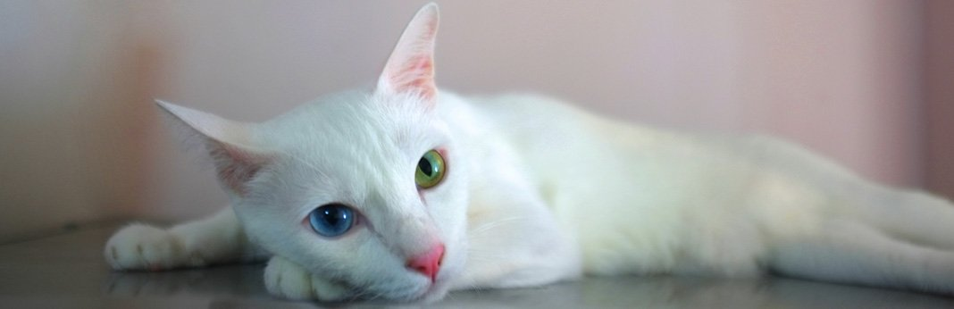 Khao Manee Cat: Breed Information, Characteristics, and Facts