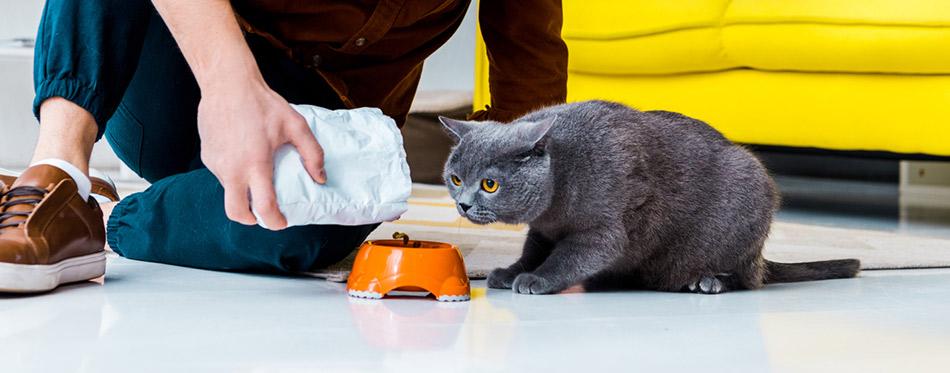 Man feeding grey british shorthair cat