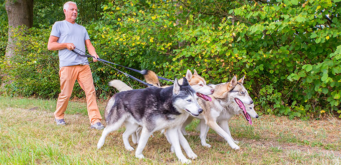 Man walking four husky dogs