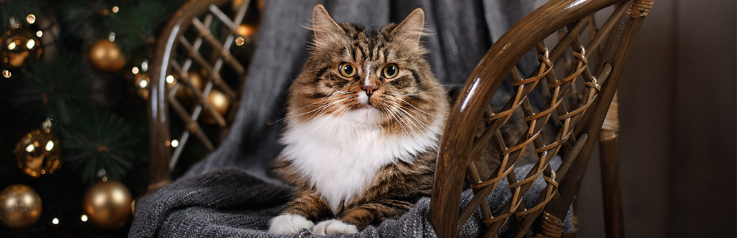 Ragamuffin Cat: Breed Information, Characteristics, and Facts
