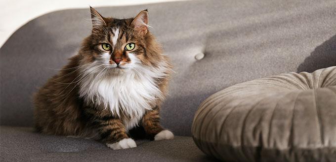 Ragamuffin cat sitting on furniture