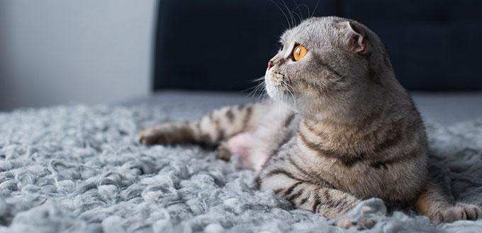 Scottish fold gato deitado na cama