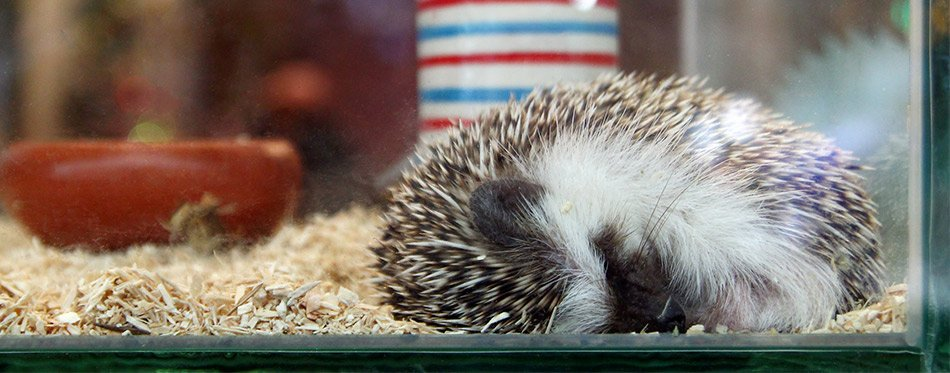 Small hedgehog is sleeping in a glass terrarium