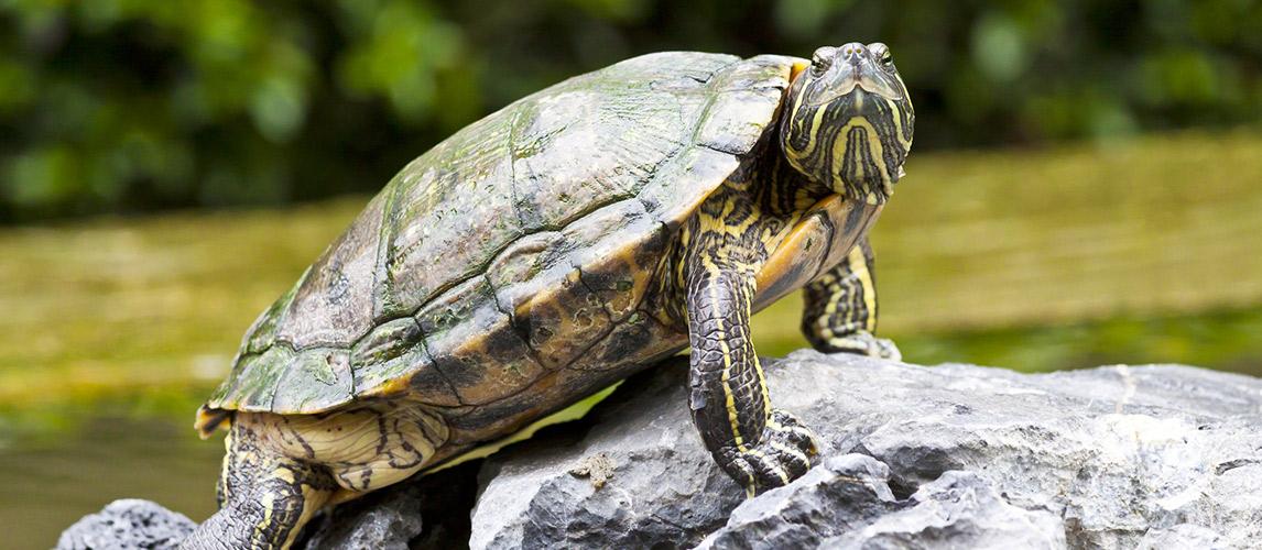Best-Tortoise-Enclosure