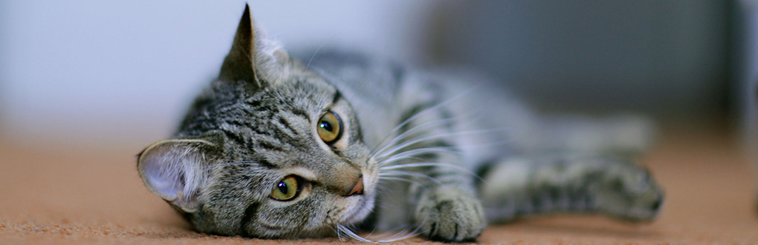 Cat Acting Weird? 7 Signs Your Cat May Be Sick