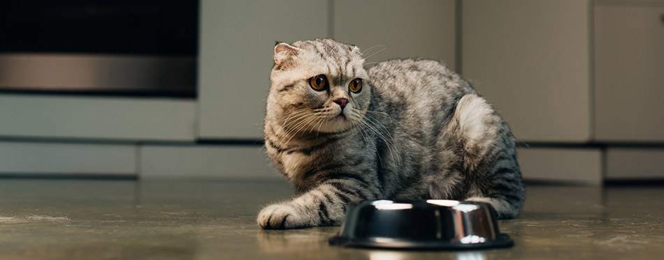 Grey scottish fold cat near bowl on floor in kitchen