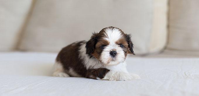 Little Mi Ki dog puppy