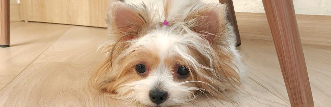 Mi-Ki-Dog-Breed-Information,-Characteristics,-and-Facts