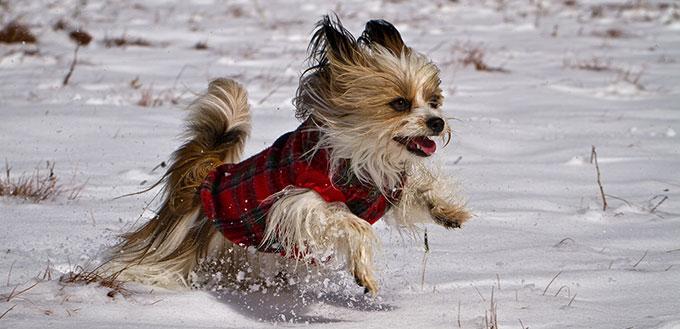 Mi Ki dog running in the snow
