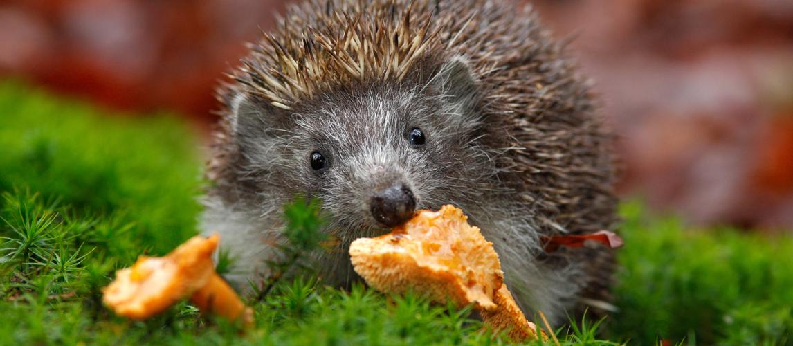best-hedgehog-food