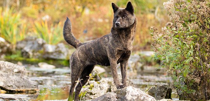 kai ken dog rare breed kaiken tora inu tigerdog brindle dog nature autumn water rocks