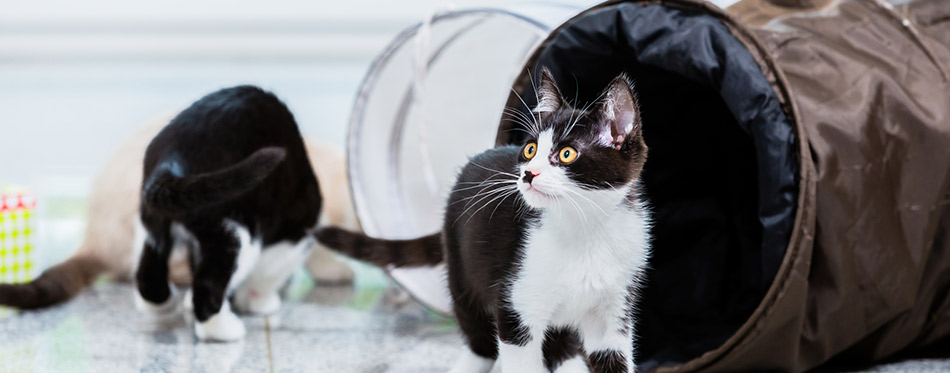 Cute cats with playing tunnel on floor