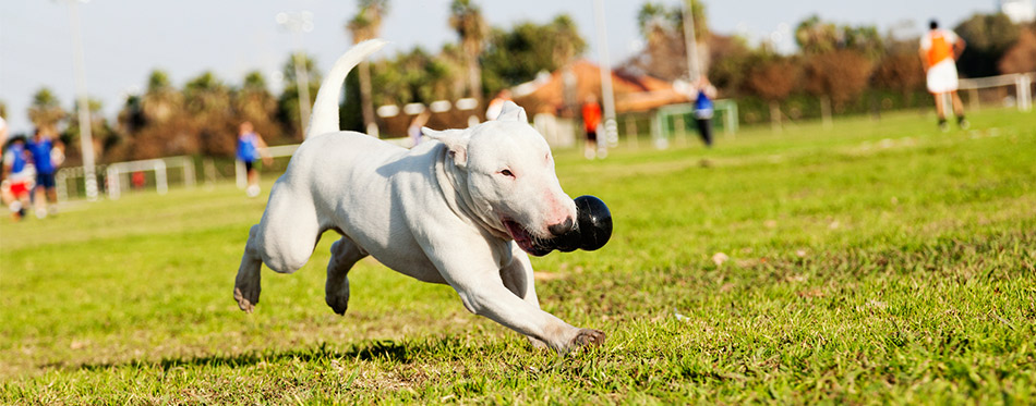 Dog running with the toy