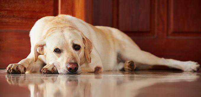 Sad dog lying at home