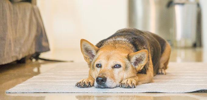 Senior mixed breed dog resting at home