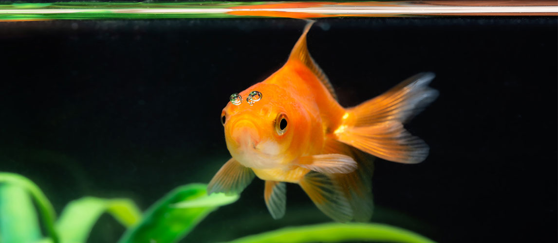 Best-Goldfish-Tanks
