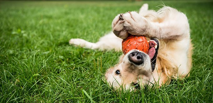 Golden retriever dog playing with a rubber toy