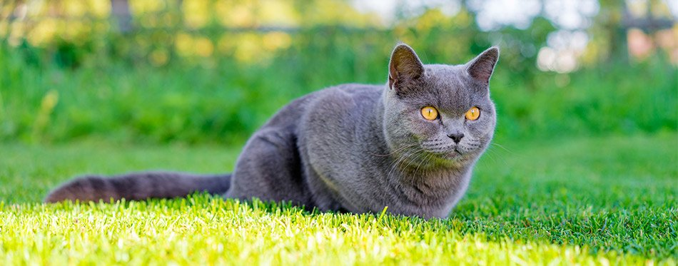 Grey cat in the grass