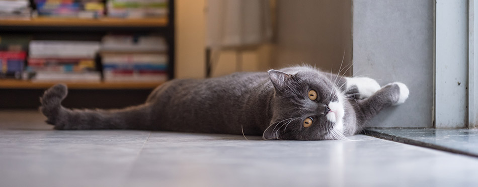British cat lying on the floor
