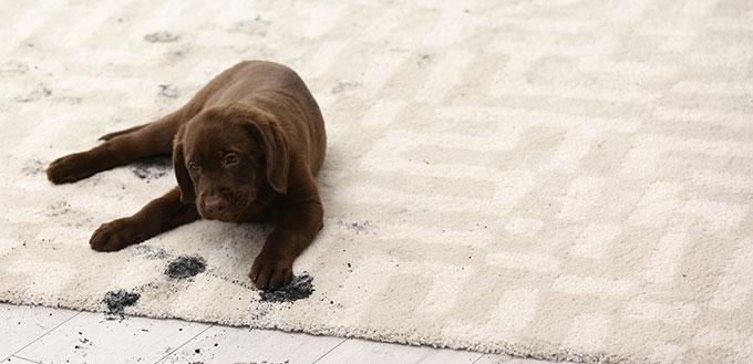Dog leaving muddy paw prints on carpet