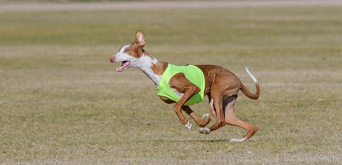 Ibizan hound running a lure course