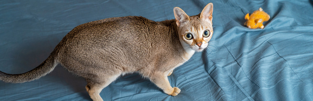 Singapura Cat: Breed Information, Characteristics, and Facts