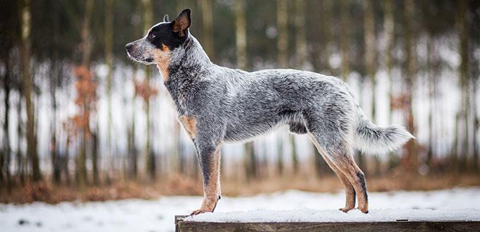 Portrait de chien de bétail australien bleu