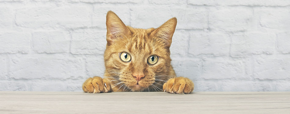 Cat looking curiously at the table