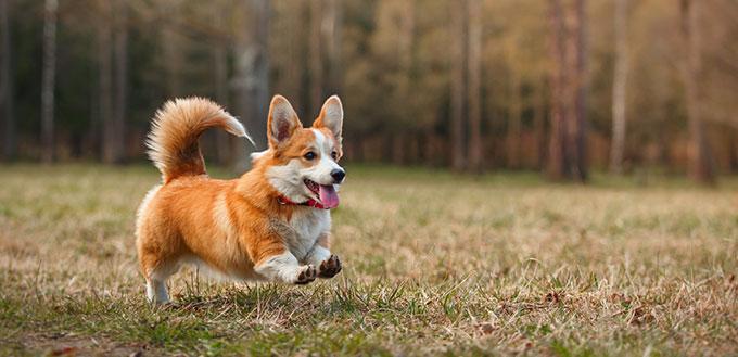 Race de chien Welsh Corgi Pembroke