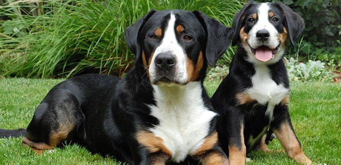 Grand chien de montagne suisse, adulte et chiot