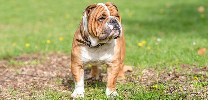 Portrait de beau bulldog anglais en plein air