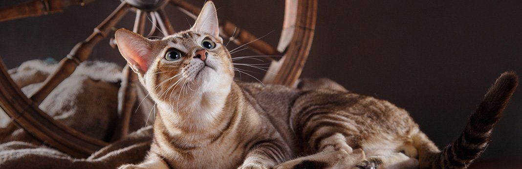 Tonkinese Cat: Breed Information, Characteristics, and Facts