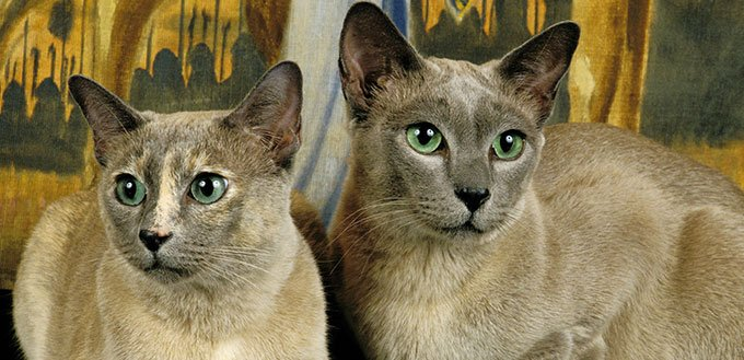 Tonkinese Cat Breed Information Characteristics And Facts