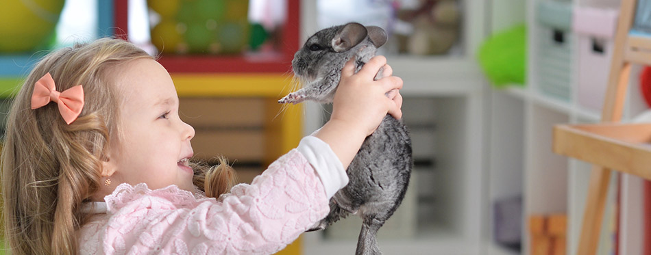 Girl playing with chinchilla