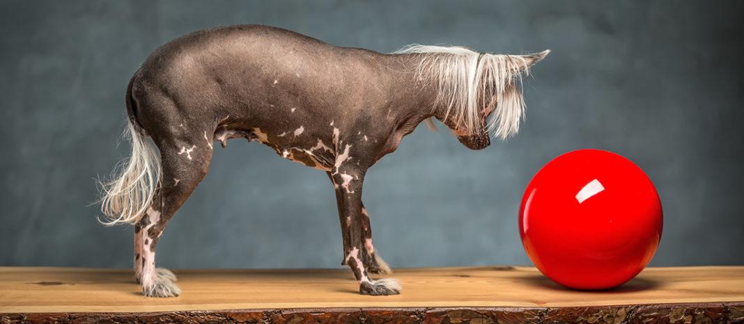 8 Hairless Dog Breeds
