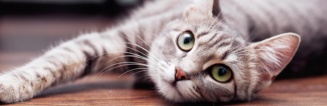 Heat-Stroke-in-Cats-Symptoms,-Risk-Factors,-Prevention-and-Care