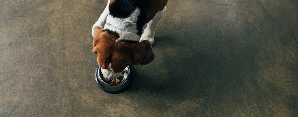 Top view of beagle dog eating from metal bowl in kitchen