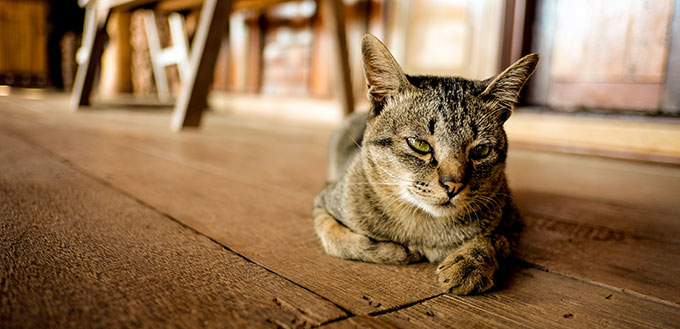 A cat is laying on the wooden floor, boring cat, street cat