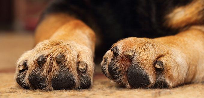 Closeup of shepherd dog's paws lying on the carpet