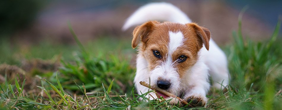 The puppy eats a bone outside. Dog Jack Russell Terrier.