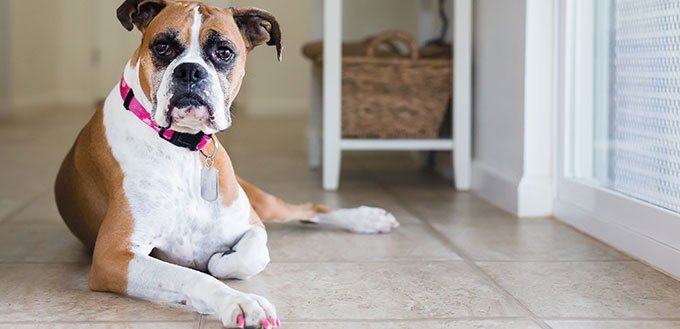 Young Boxer dog with painted nails looks into camera
