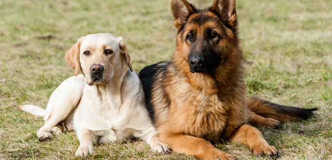 lab and a german shepherd