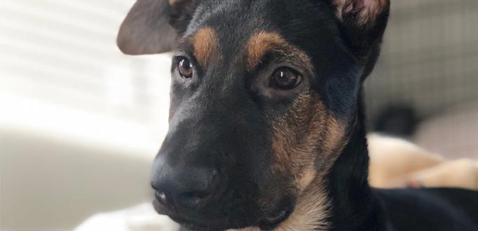 sheprador dog breed