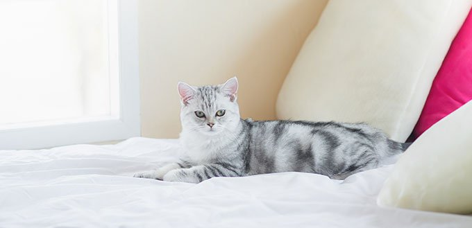 American Shorthair cat lying on white bed