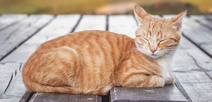 Beautiful ginger tabby cat with screwed-up eyes is lying on the wooden floor.