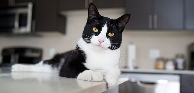 Black and white domestic cat lying on modern kitchen counter