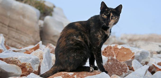 Cat, tortoiseshell, on a rocky wall, Cyclades