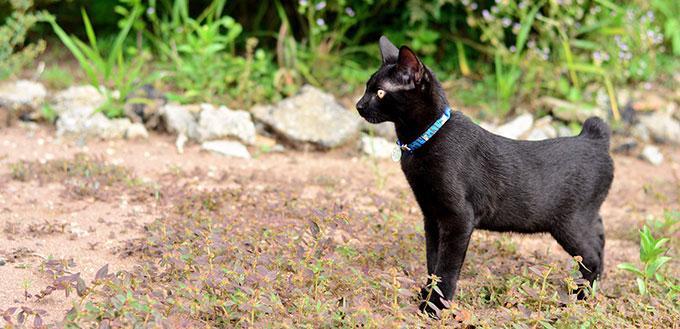 Japanese bobtail black cat walking in the plantation