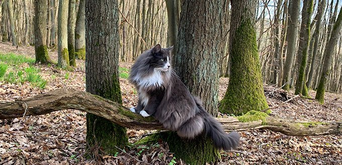 Norwegian Forest Cat in Wilderness