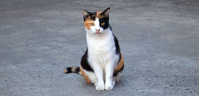 Portrait of a magnificent domestic calico cat, sitting on grey background and looking straight to the camera.